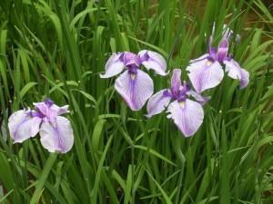 Meiji Jingu iris garden