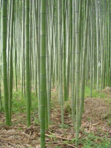 Bamboo forest in Kyoto, photo by jbg